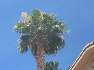 palm tree trimming orange county
